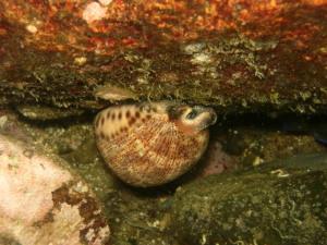 ヤクシマダカラ貝