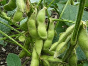 大好評の枝豆