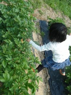 ジャガイモ花芽欠き